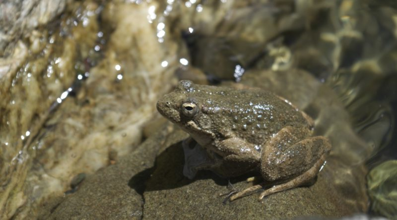 Foothill Yellow -legged frog