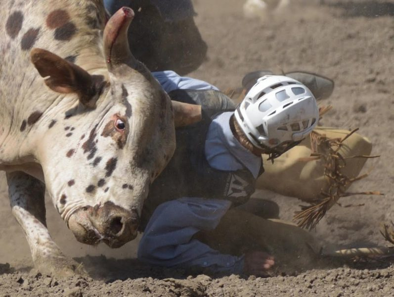 Rodeo steer with bleeding horn