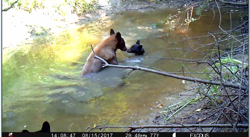 Mama bear and cubs in water