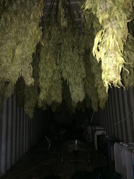 Marijuana drying