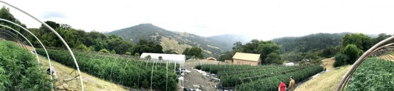 Marijuana garden From the Emerald Tribune