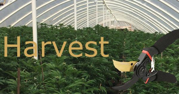Harvest marijuana icon