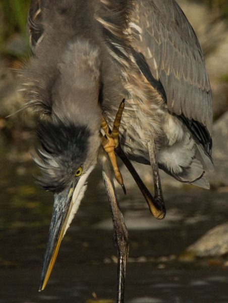 Young heron. [Photo by Ann Constantino]