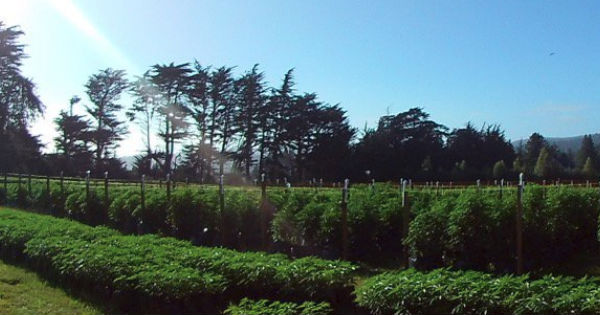 Ag land in marijuana