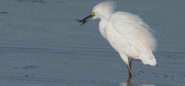 Snowy egret in the Arcata Marsh by Lynn Harrington