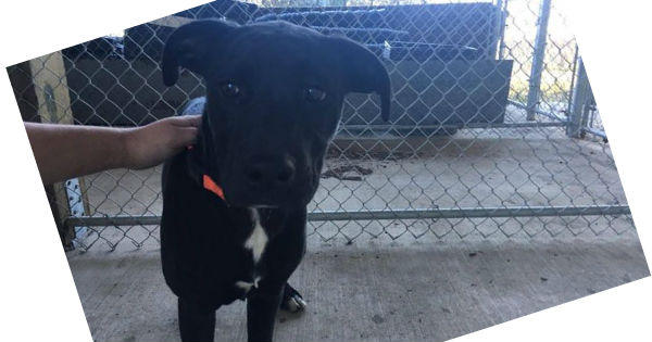 Black pup with a with a white star on chest found