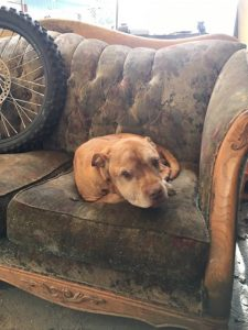 brown dog on battered couch