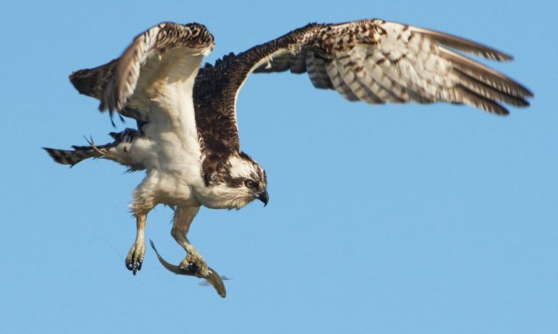 osprey and smelt