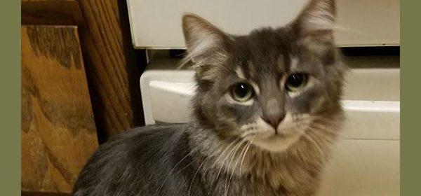 Grey fuzzy kitty