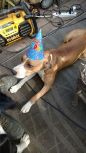pitbull mix with birthday hat