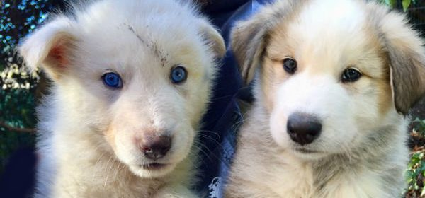 Light and fluffy puppies