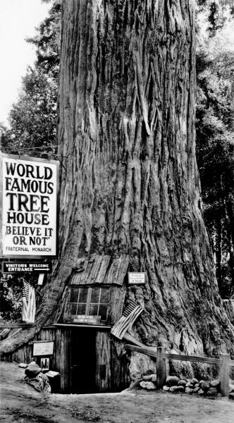"""The World Famous ""Tree House"", Lily Redwood Park, On the Redwood Highway, California"