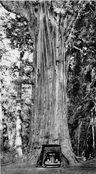 "Redwood Highway1: ""The ""Chandelier Drive Thru"" Tree, 74 feet in circumference at the base, a beautiful giant Redwood in the Underwood Redwood Park on the Redwood Highway"", vintage photo redwood"