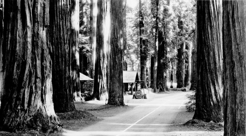 """Richardson Grove, On the Redwood Highway"""