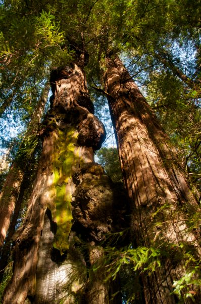 burl tree