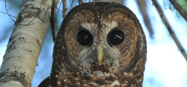 Northern spotted owl [Courtesy of uc Davis]