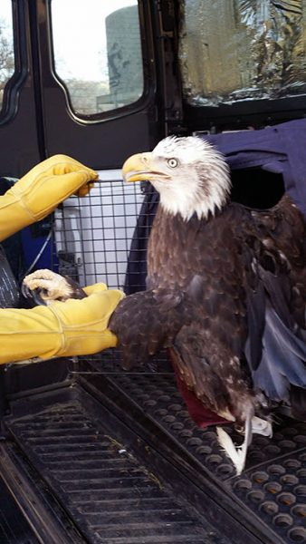 A bald eagle, treated by Critter Creek Wildlife Station for pentobarbital poisoning, about to be released.