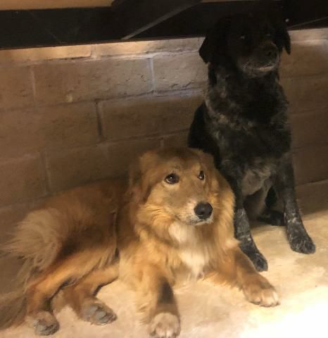 Yellow dog and Australian Shepherd