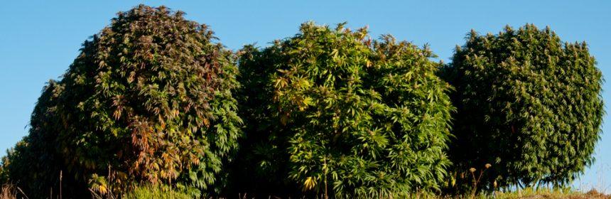 Garden o Cannabis garden