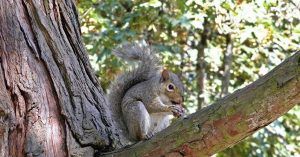 Western grey squirrel