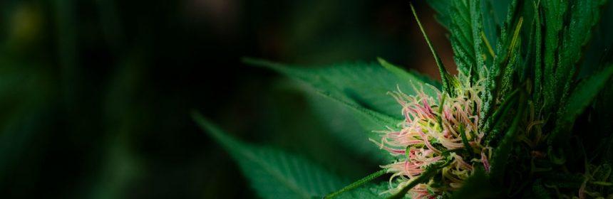 Sunrise on young marijuana flower bud