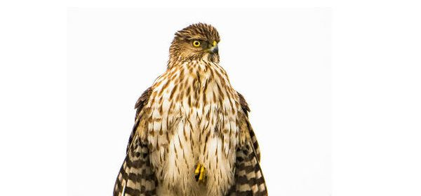 Immature Cooper's Hawk, feathers fanned out to gather heat, one talon withdrawn to conserve heat.