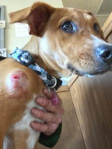 Dog wounded by a pellet gun.
