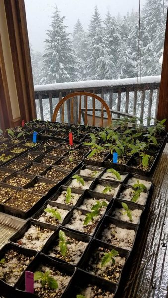 Marijuana seedlings in the snow.