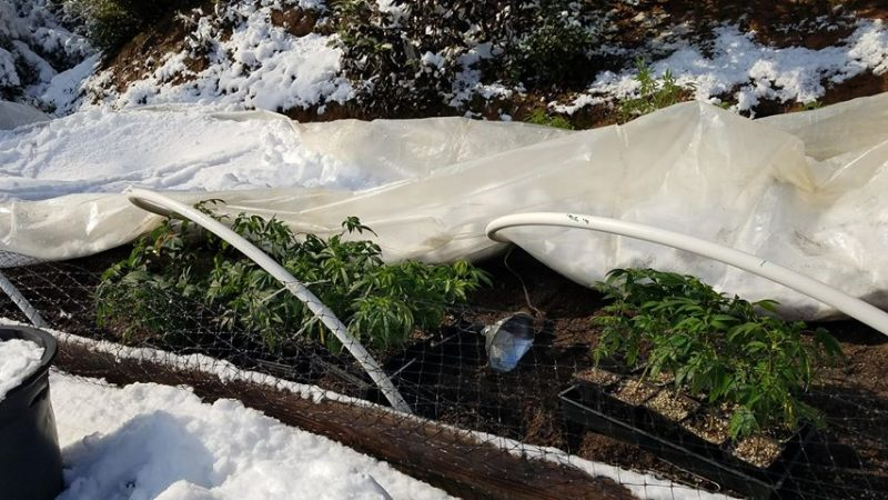 Collapsed greenhouse with marijuana seedlings