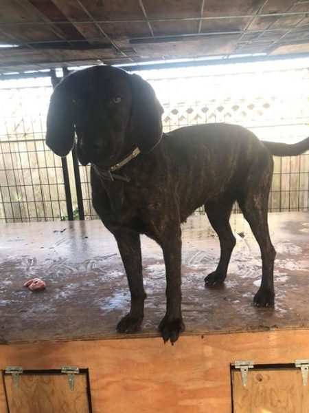 Found] Plott Hound Stolen From Centerville Beach – Redheaded