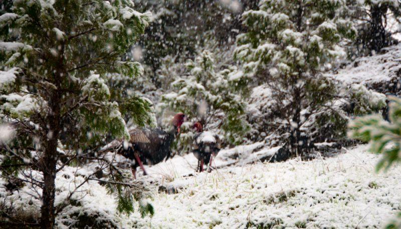 Turkey in the Snow v