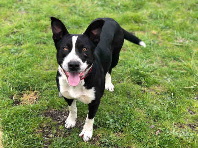 This Pit Bull Border Collie Mix Is Looking For A Forever Home
