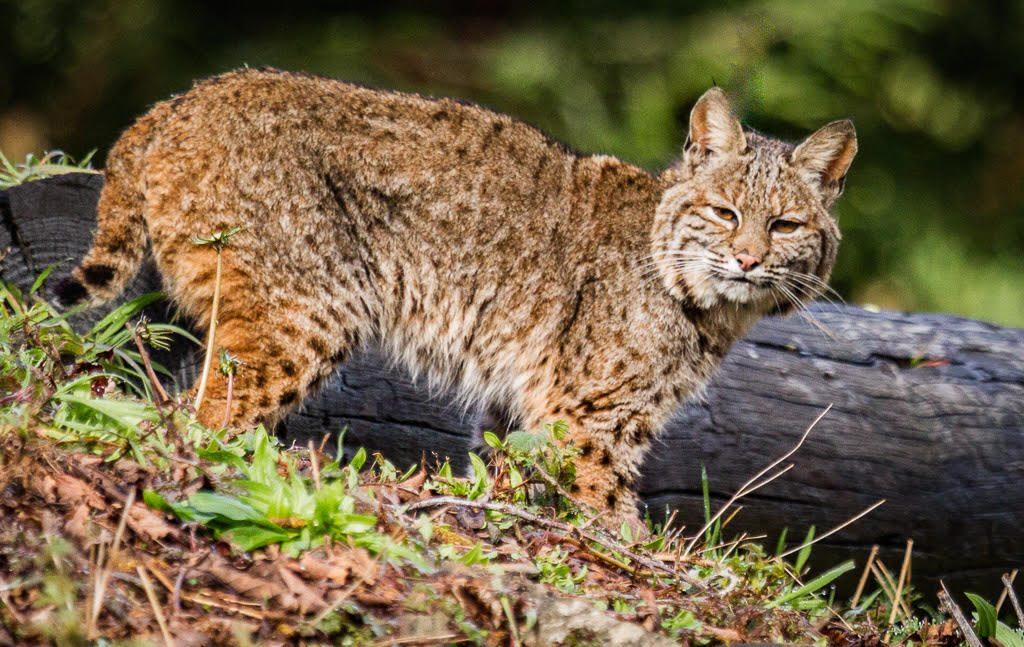 Bobcat by Jill Duffy