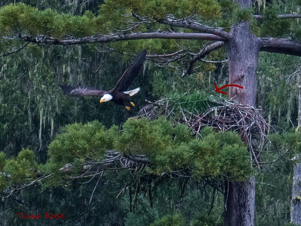The red arrow indicates the fuzzy head of an eaglet in the Benbow nest.