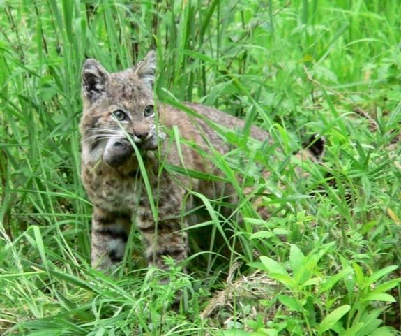 Bobcat with rat.