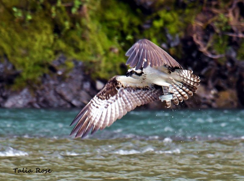 Osprey with young Steelhead