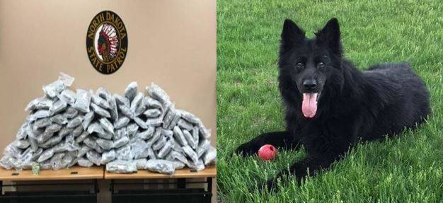 A West Fargo police dog, DIsco, and the 100 pounds of marijuana
