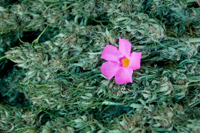 Marijuana Buds and flower