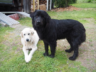 white Pyrenees mix, medium length fur, the other is all black Newfoundland/lab mix