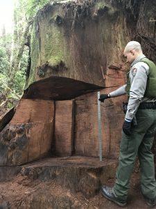Ranger measuring burl cut damage
