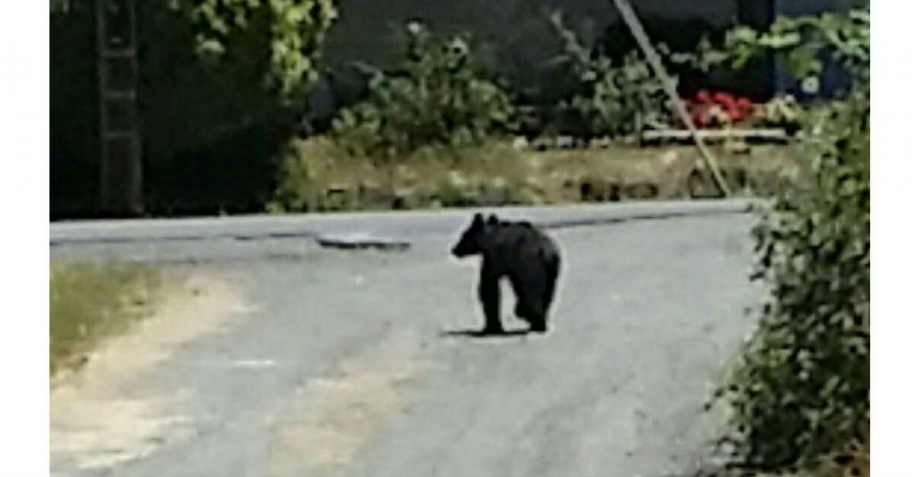 Bear in Miranda.