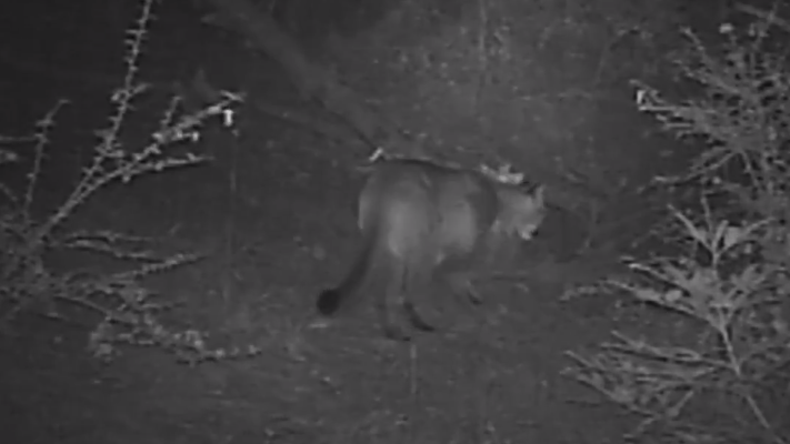 mountain lion stalking from a video by Kim Cabrera