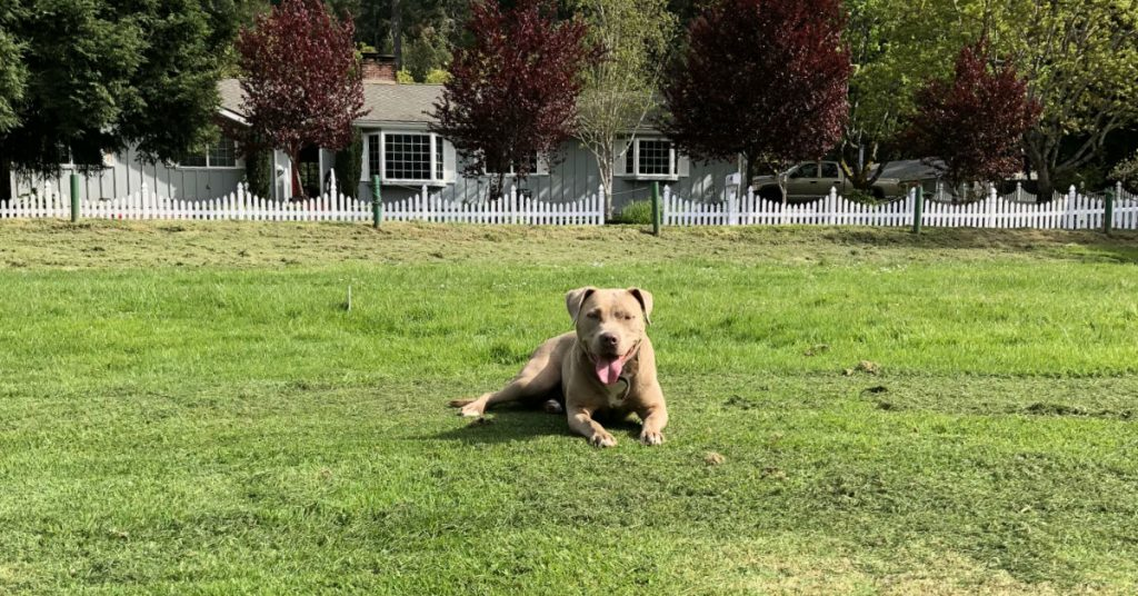 pit bull dog on green lawn