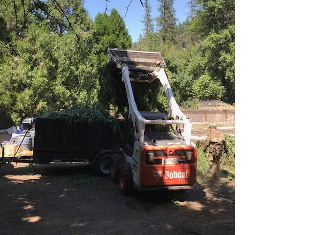 loader dumping marijuana into a trailer