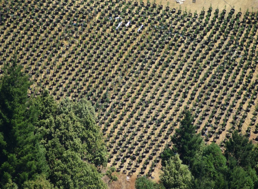 Field of Smart Pots marijuana