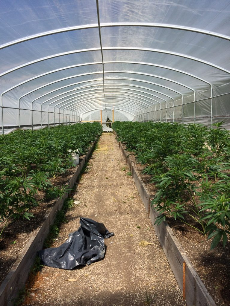 greenhouse Marijuana cultivation site