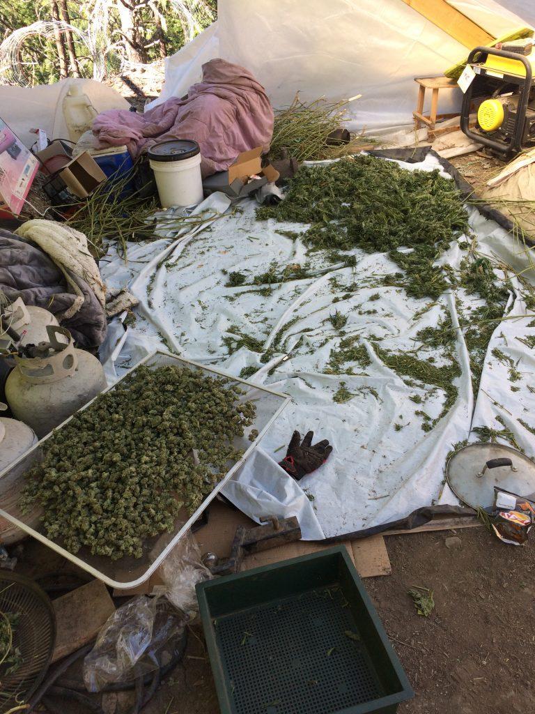 Processing marijuana.
