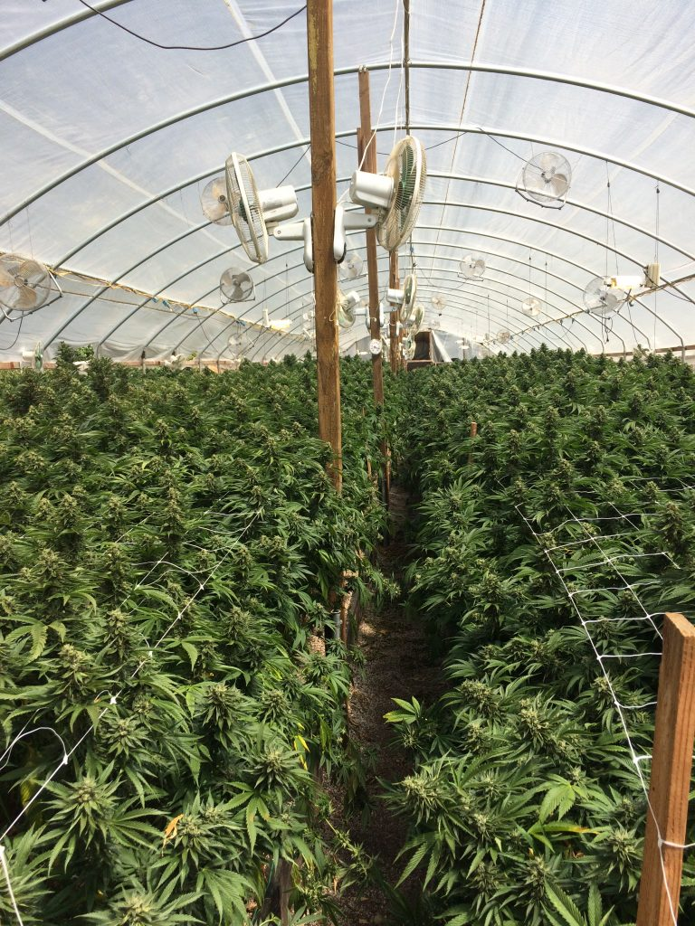 greenhouse marijuana