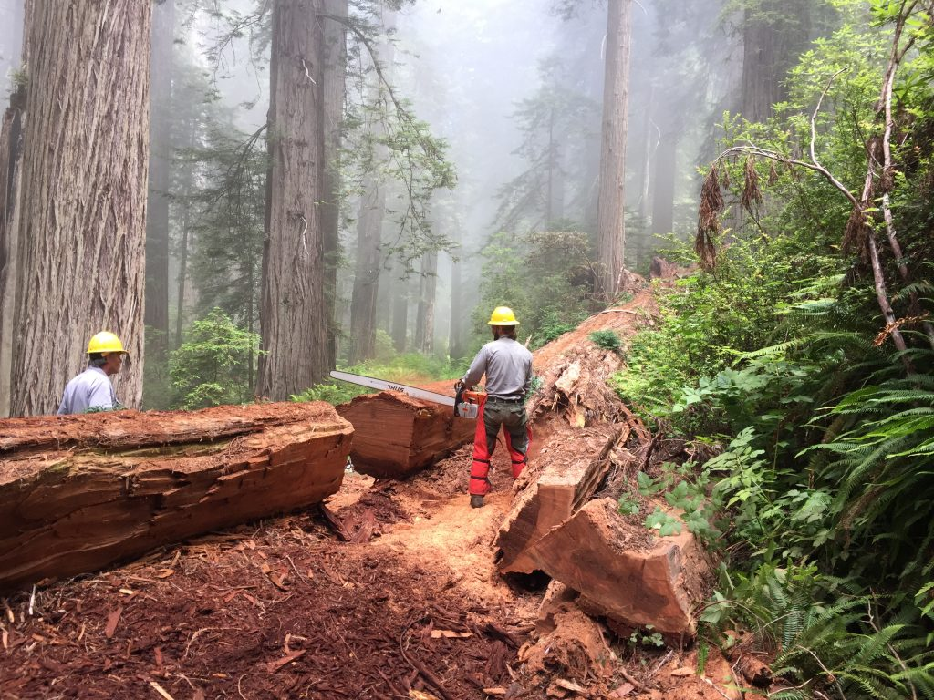 Workers clear trails in ancient redwood forests
