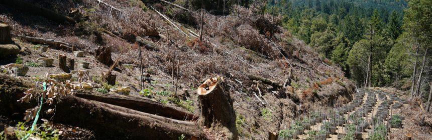 Grow marijuana cut timber